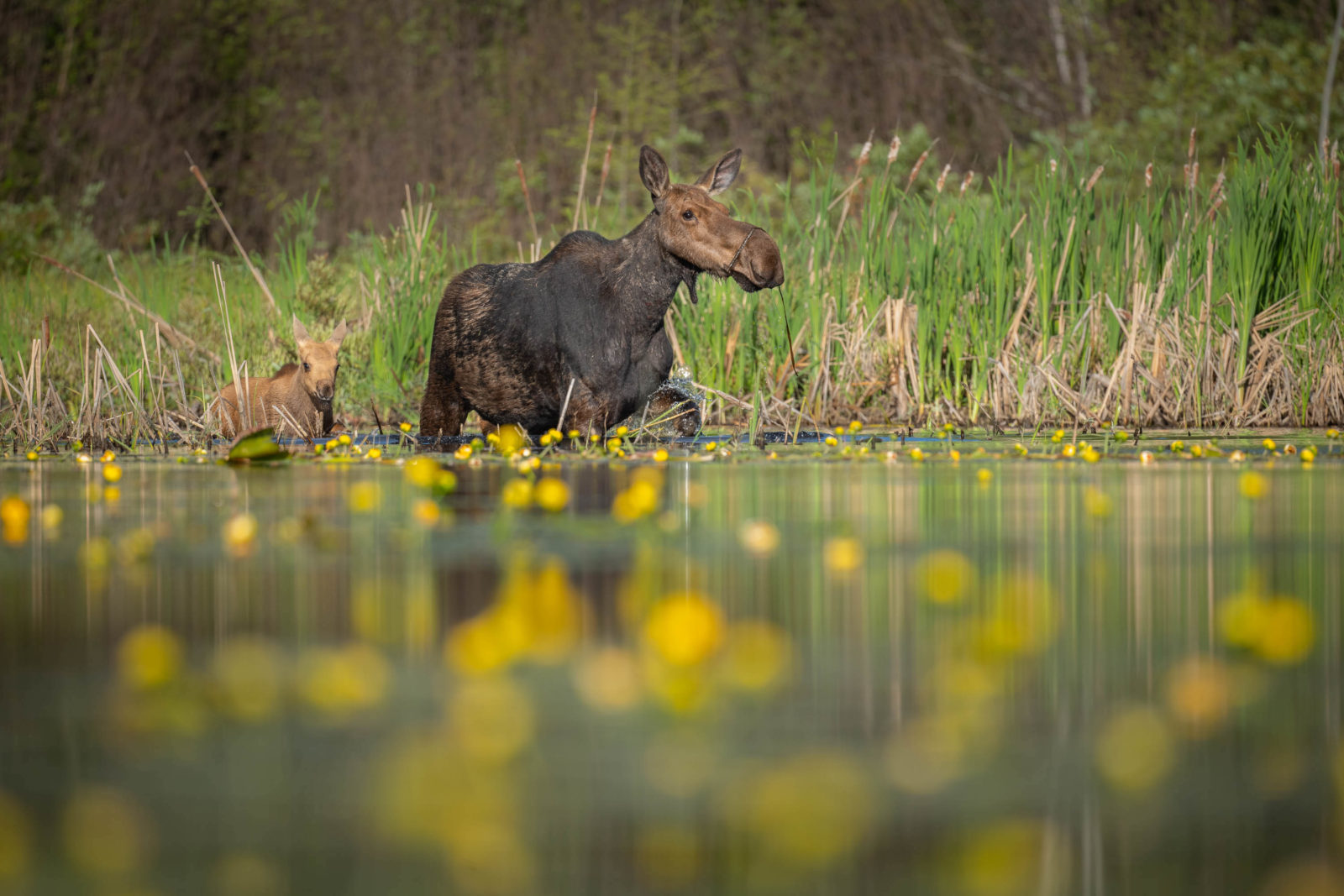 A cow moose wades through water with a calf.